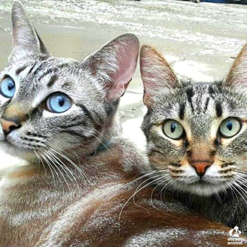 POR QUÉ adoptar 2 (dos) gatos es mejor que 1 (uno)